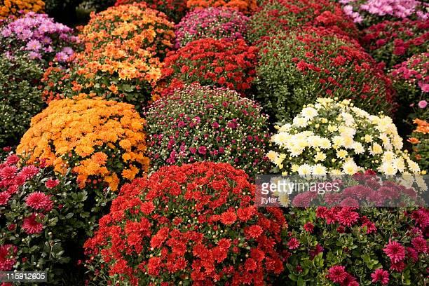 mums de muchos colores - chrysanthemum fotografías e imágenes de stock