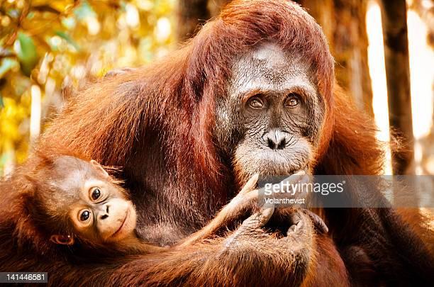 Mumy orangutan with baby
