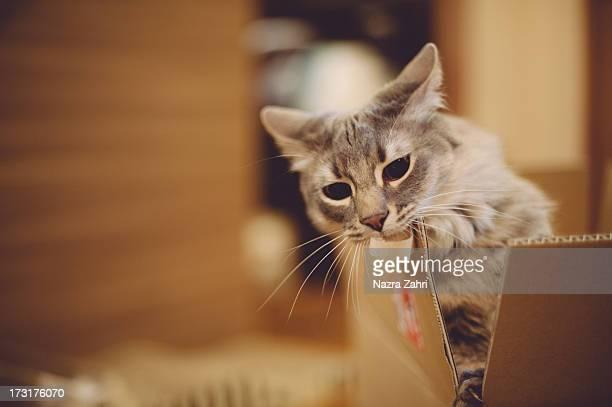 Munchkin cat biting box
