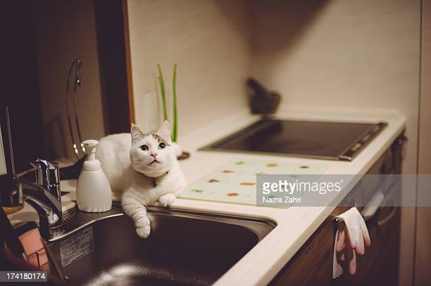Munchkin cat sitting by the sink