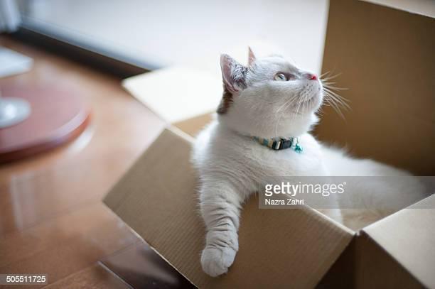 Munchkin cat sitting in a box