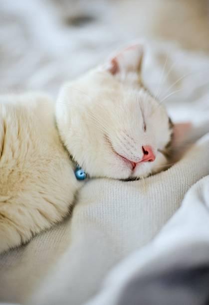 Munchkin Kitten Sleeping Wall Art