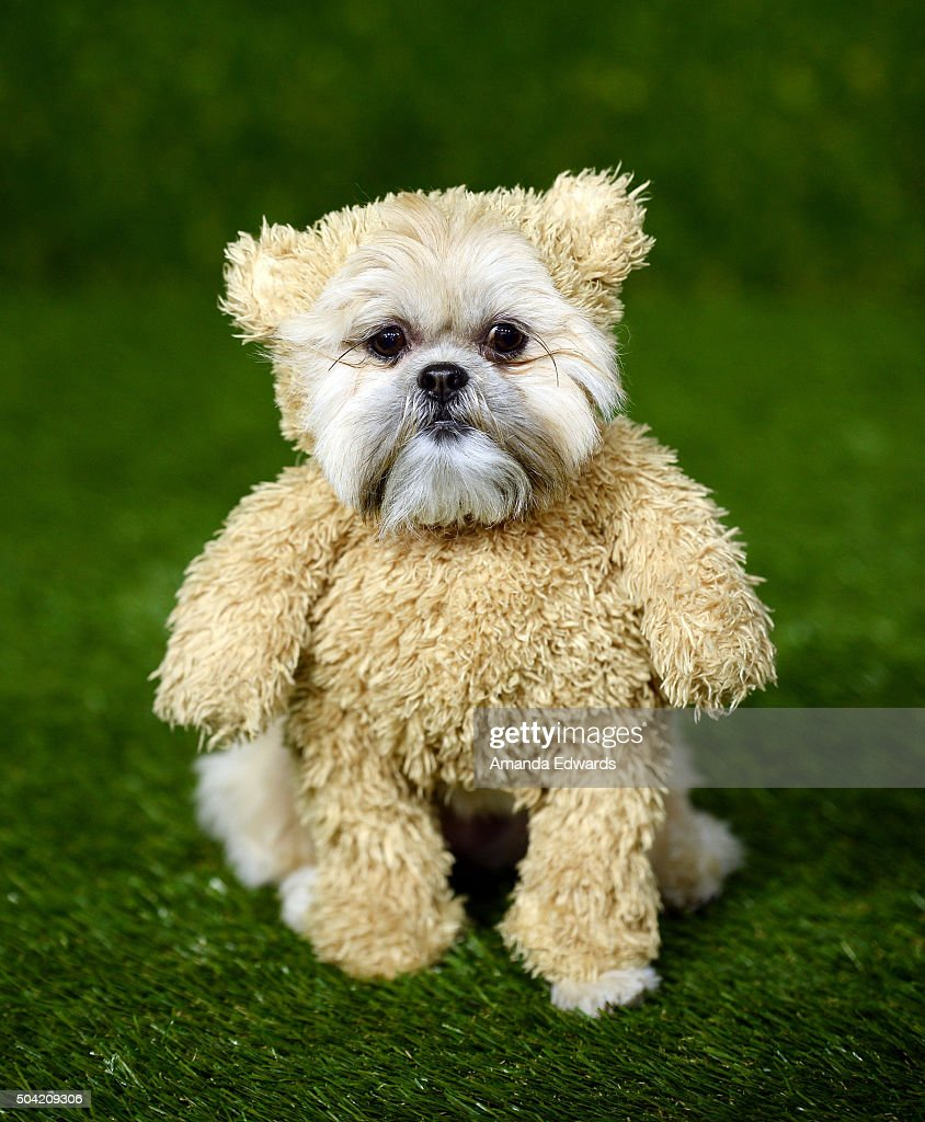 Munchkin the teddy bear dog arrives at the 2016 World Dog