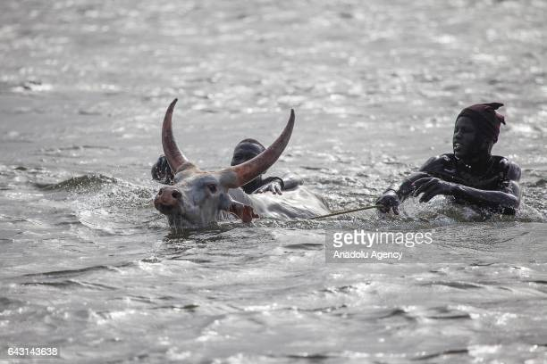 Mundari men try to pass across the Nile river with their cattle in Terekeka town of Juba South Sudan on February 9 2017 Munda people a small ethnic...