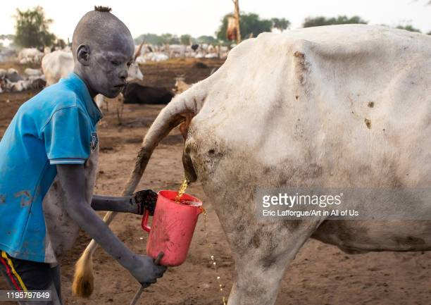 Mundari tribe boy collecting cow urine to use it to wash his body and dye his hair Central Equatoria Terekeka South Sudan on November 18 2019 in...