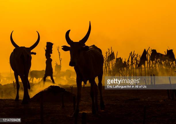 Mundari tribe long horns cows in the cattle camp at sunset Central Equatoria Terekeka South Sudan on February 11 2020 in Terekeka South Sudan