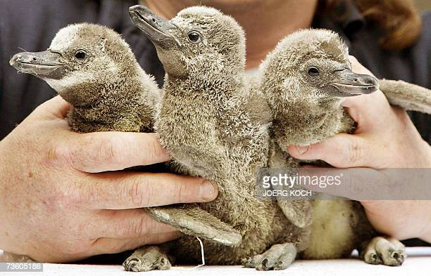 A zookeeper holds three Humboldt Penguin babies 16 March 2007 in Munich's zoo Hellabrunn where six peguin babies were born last January When they...
