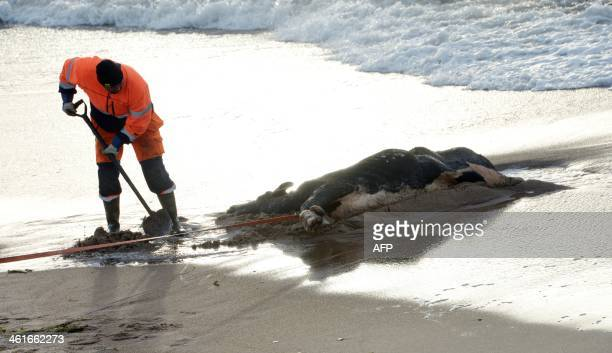 A municipal employee works to digg out a dead cow on the beach on January 10 2014 in Ystad southern Sweden as carcasses of almost a dozen cows have...