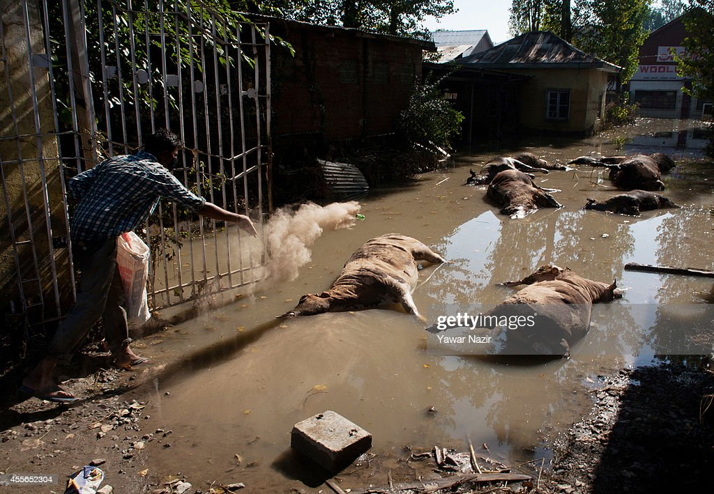 A municipal worker sprinkles an anti-infective agent on the dead cow carcasses lying next to highway as the flood waters recede on September 18, 2014 in Srinagar, the summer capital of Indian administered Kashmir, India. Nearly 100,000 people are still marooned in the areas of the Kashmir Valley submerged in flood waters. The floods in the Himalayan region of Kashmir were believed to be the worst in decades with over 200 dead. Health experts are worried the stagnant waters and floating carcasses of livestock could create conditions for serious outbreaks of disease.