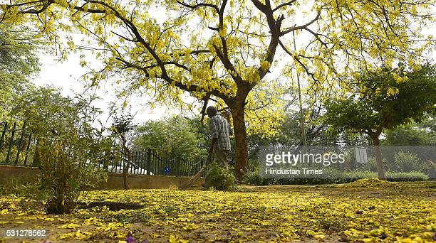 A municipality worker sweeps petals of Amaltas also known as the golden shower trees seen in full bloom on May 11 2016 in New Delhi India
