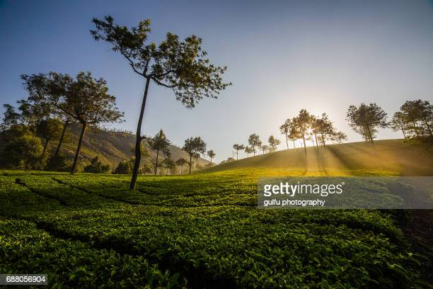 munnar plantation sun rise - kochi india stock pictures, royalty-free photos & images
