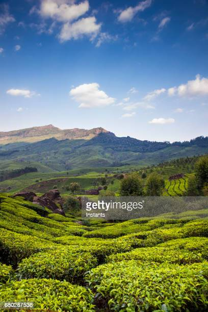 Munnar tea plantation in South India's Kerala region, where the Western Ghats mountains are visible in the background.