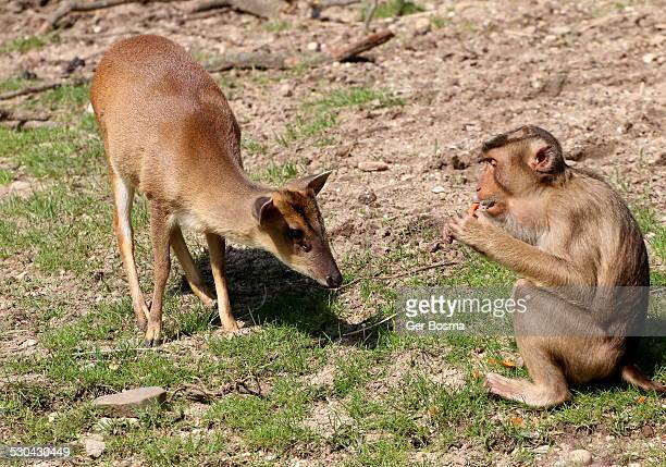 Muntjac & Macaque Friendship