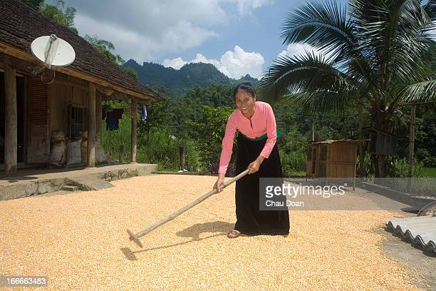 Muong ethnic minority woman Xa Thi Lien drying corn at her house in Tra Ang hamlet Vay Nua commune Da Bac district Hoa Binh province Poor farmers in...