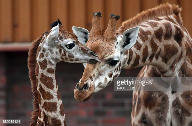 Murchison a baby Rothschild giraffe receives attention from another giraffe as he ventures out of the Giraffe House at Chester Zoo in Chester...