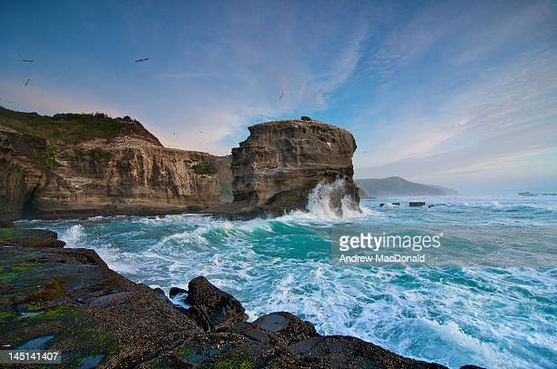 muriwai - gannet stock photos and pictures
