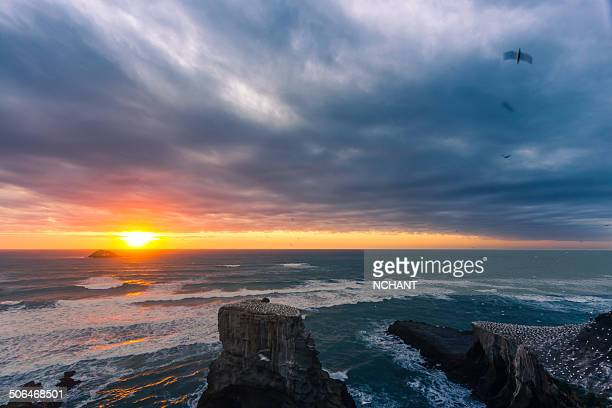 muriwai sunset - gannet stock photos and pictures