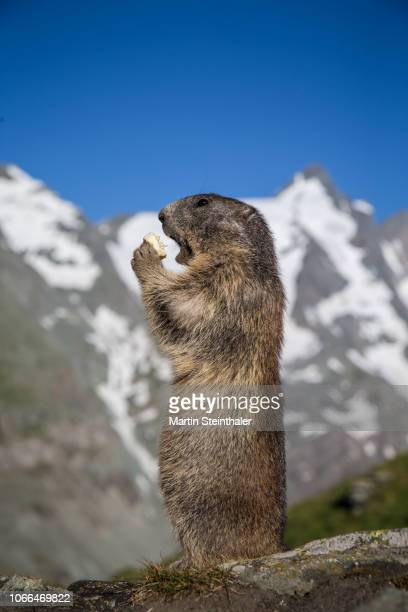 murmeltier steht und frißt obst im nationalpark hohe tauern - woodchuck stock pictures, royalty-free photos & images