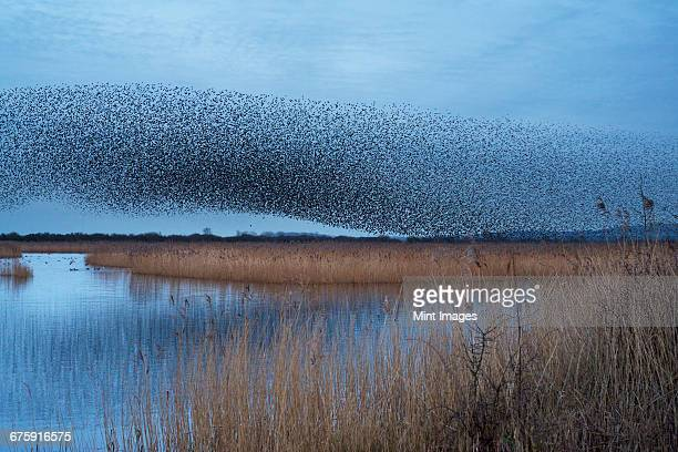 A murmuration of starlings, a spectacular aerobatic display of a large number of birds in flight at dusk over the countryside.