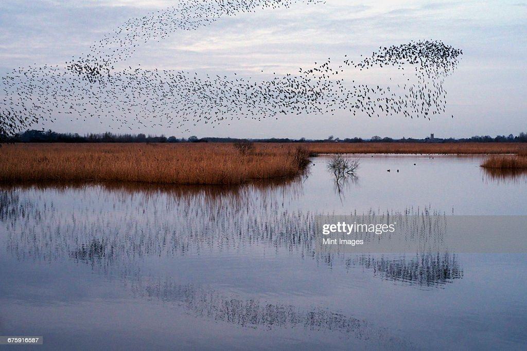 A murmuration of starlings, a spectacular aerobatic display of a large number of birds in flight at dusk over the countryside. : Stock Photo