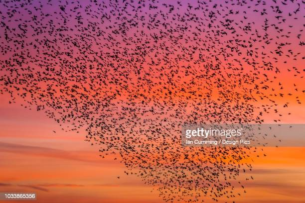 murmuration of starlings at dusk, rspb reserve minsmere, suffolk, england - nature reserve stock pictures, royalty-free photos & images