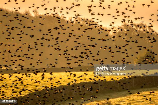 Murmuration with Golden light at sunset. England, UK.