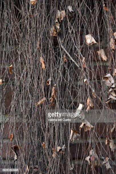 muro de hera seca - sem fim... valéria del cueto stock pictures, royalty-free photos & images