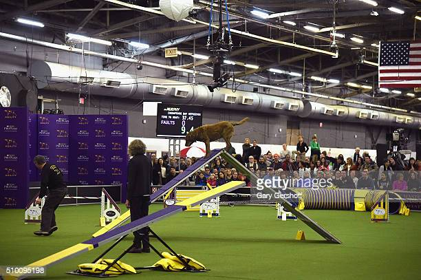 Murphy a Chesapeake Bay Retriever competes in the Westminster Kennel Club and AKC Meet and Compete at Pier 92 on February 13 2016 in New York City