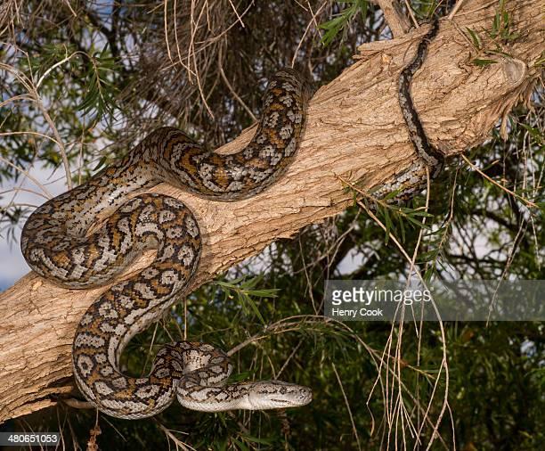Murray Darling Carpet Python