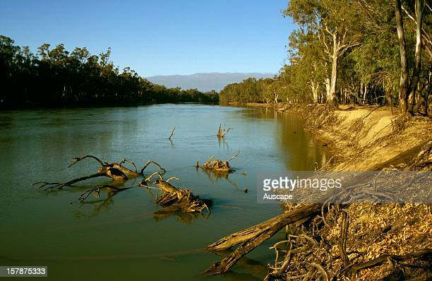 Murray river fringed by River red gums in the morning near Nangiloc northwest Victoria Australia