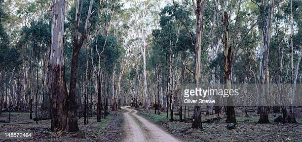 Murray River red gums, Barmah State Forest.