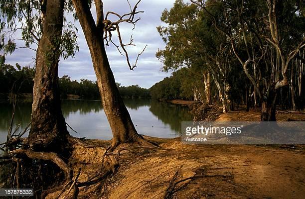 Murray river with River red gums , near Nangiloc, northwest Victoria, Australia.