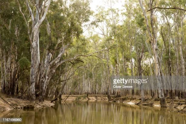 murray valley national park - süßwasser stock-fotos und bilder