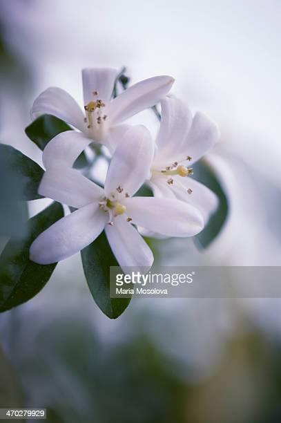 Murraya Houseplant Blossom