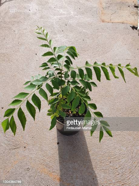murraya koenigii or known as curry plant - 茎 ストックフォトと画像