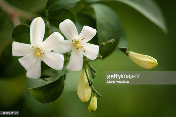 90 Murraya Paniculata Photos And Premium High Res Pictures Getty Images
