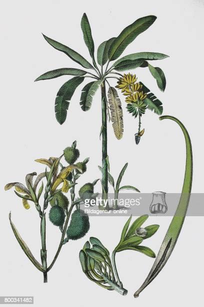 Musa paradisiaca Banana tree Canna indica Indian shot African arrowroot edible canna and Vanilla Vanilla planifolia historical illustration 1880