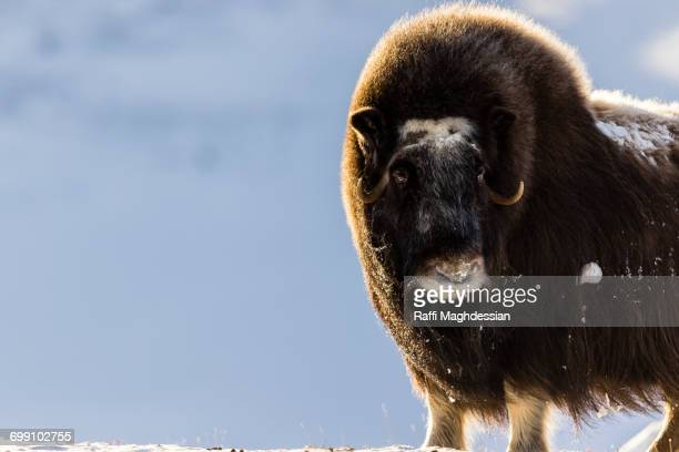 musc ox standing on the snow - musk ox stock photos and pictures