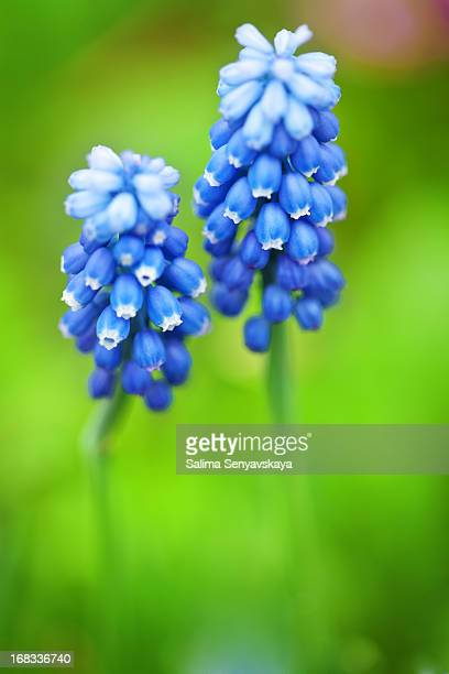 muscari armeniacum flower - grape hyacinth stock pictures, royalty-free photos & images