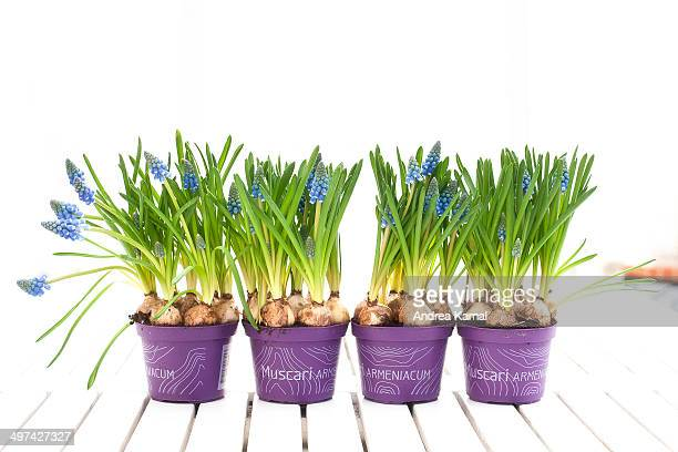 muscari armeniacum / muscari - muscari armeniacum stock pictures, royalty-free photos & images