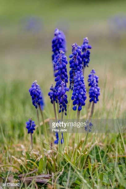Muscari Blue Star - Grape Hyacinth