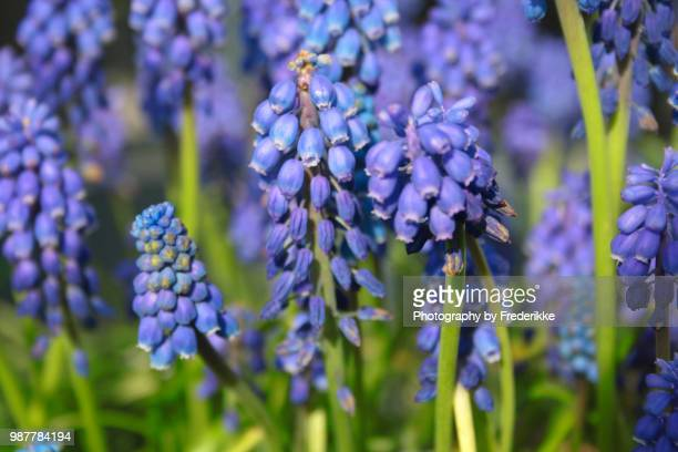 muscari botryoides - grape hyacinth stock pictures, royalty-free photos & images