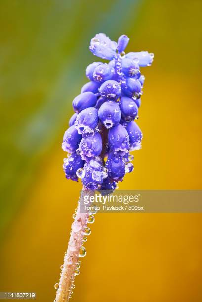 muscari flower - grape hyacinth stock pictures, royalty-free photos & images
