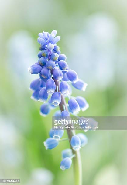 muscari in springtime - nancybelle villarroya stock photos and pictures