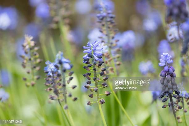 muscari latifolium - andrew dernie stock pictures, royalty-free photos & images