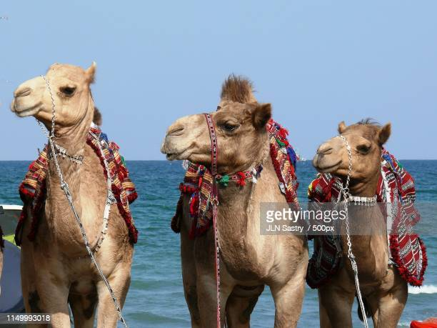 muscat festival, muscat ,oman - muscat governorate stock pictures, royalty-free photos & images