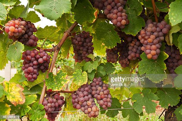 Muscat wine grapes on the vine