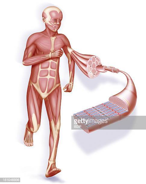 Muscle And Muscular System Representation Of An Ecorche And Focus On A Contracted Muscle And Its Structure From Left To Right Tendon Muscle Cluster...