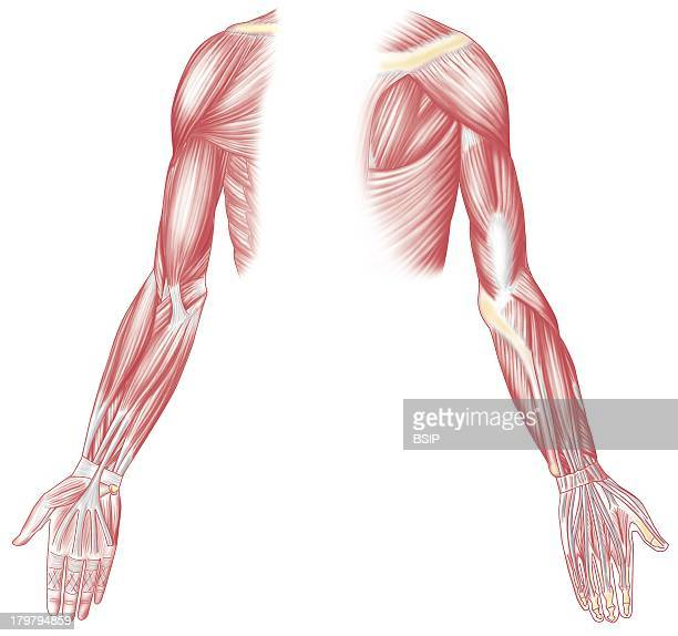 Muscle Drawing Muscles Of The Upper Limb In Anterior And Posterior Views