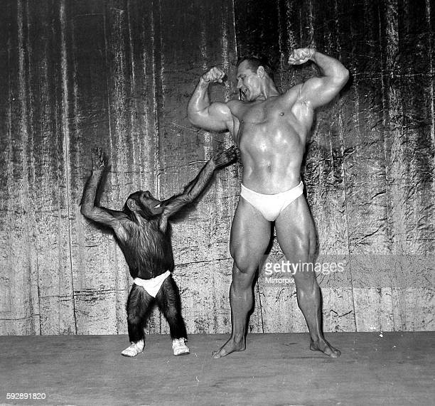 Muscle man John Grimek flexing his muscles with Marquis the Chimpanzee at the London Palladium